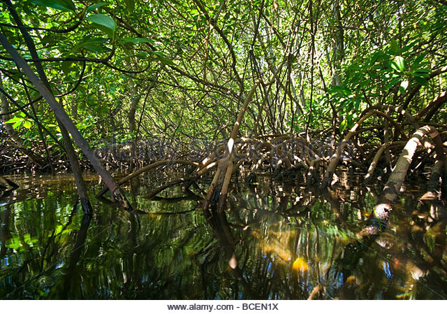 dappled-light-filters-through-a-mangrove-swamp-on-a-tropical-island-bcen1x